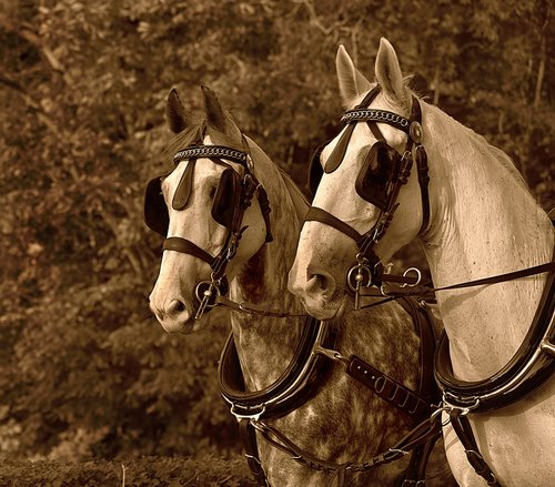 cart horse  harnessed  blinkers