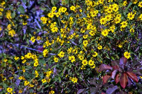 cascade canyon wildflowers  blossoms  bloom