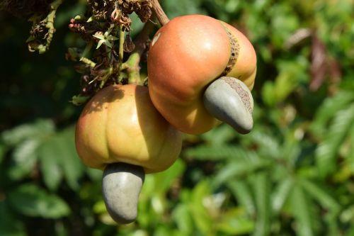cashew nature nut