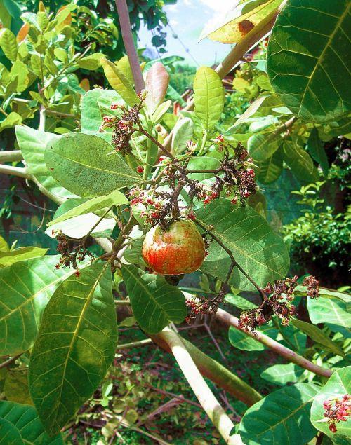 cashew cashew nut plant