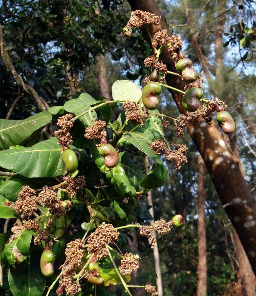 cashew baby fruit nut