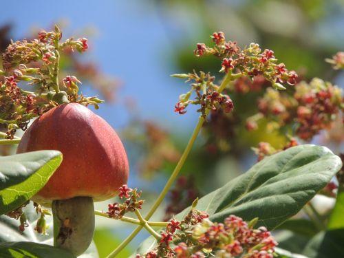 cashew fruit blooming