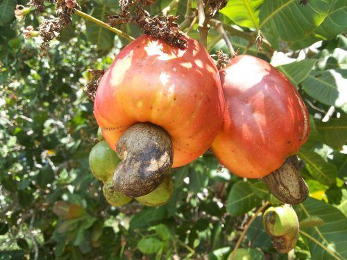 cashew cashew tree sertão nordestino