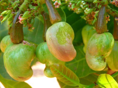 cashew cashew nut cashewbaum