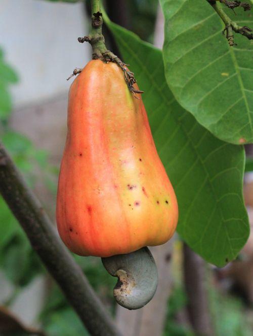 cashew fruit food plant