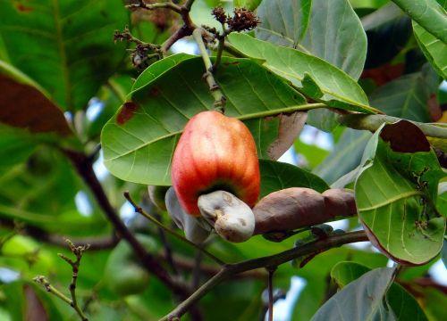 cashew fruit nut ripe