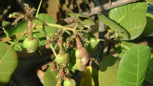 cashew nut cashewbaum nuts