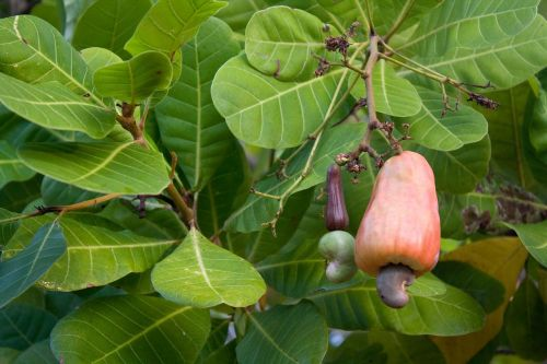 cashew nut cashew tree cashew