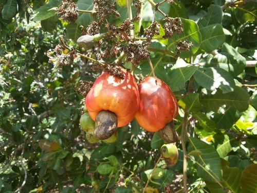 cashew nuts fruit cashew tree
