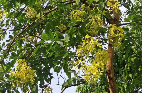 cassia fistula golden shower tree amaltas