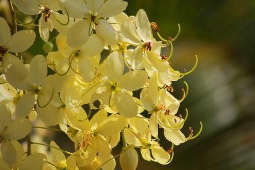 cassia fistula l flower yellow
