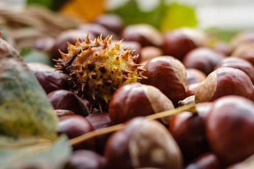 castanea chestnut fruit