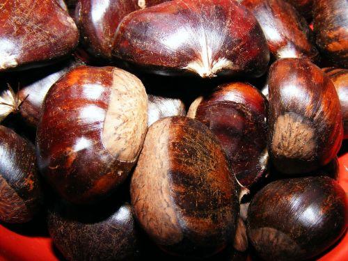castanea chestnut fagaceae