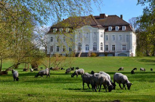 castle park sheep
