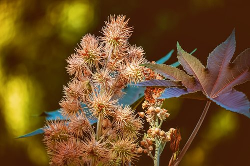 castor oil plant  poison plant in 2018  wonder tree