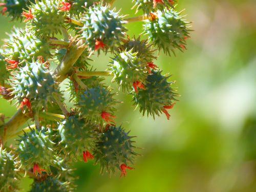 castor oil plant castor fruit blossom
