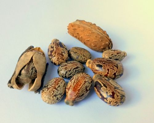 castor oil seeds castor ricinus