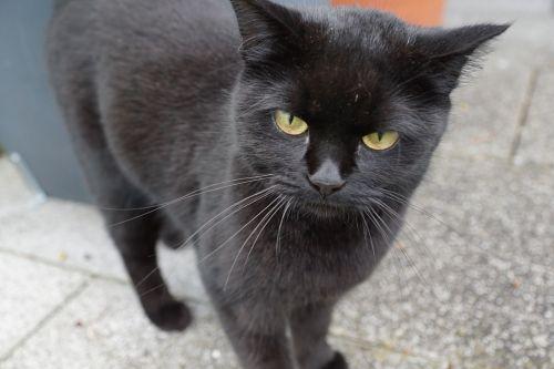 cat black halloween
