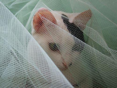 cat veil white