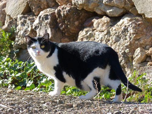cat black and white stalking