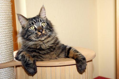 katė,kratzbaum,žaismingas,atsipalaiduoti,pasididžiavimas,pagrindinė dalis,katės akys,gyvūnai,mieze,skumbrė
