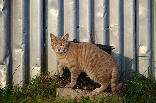 cat mackerel breed cat