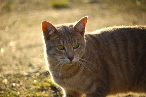 katė,ruduo,skumbrė,šviesa,saulės šviesa,gamta,kačiukas,vakarinė šviesa