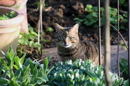 cat tiger domestic cat
