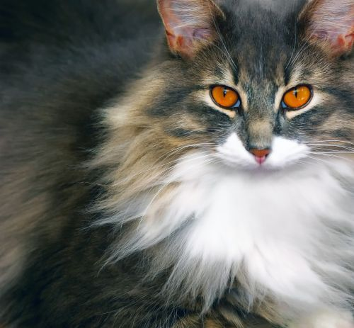 cat,feline,animal,cat eyes,pet,domestic animal,cat's eyes,grey,look,cat face
