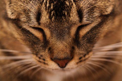 katė,pagrindinė dalis,gyvūnai,miega,galva