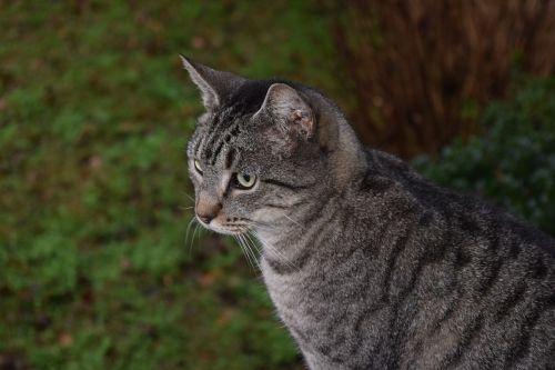 cat striped cat tiger cat