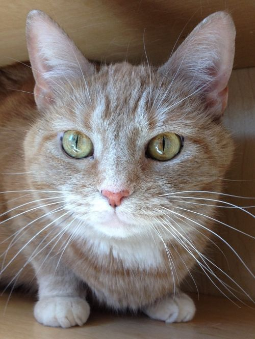 cat cream tabby