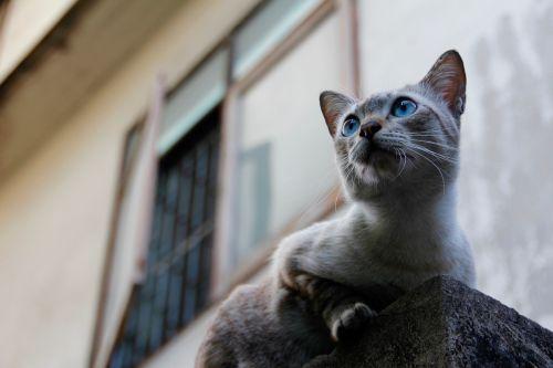 cat thailand paw