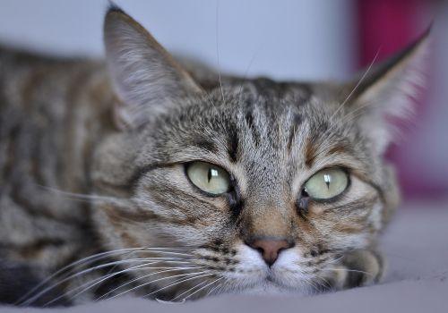 cat face domestic