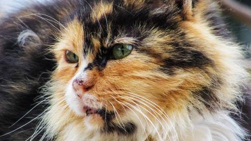 cat eyes carnivore