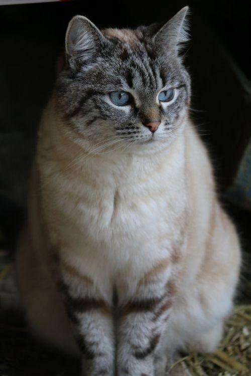 cat blue eyes animal