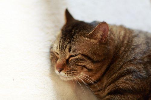 cat her sleeping face animal