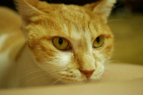 cat koreashorthair cute