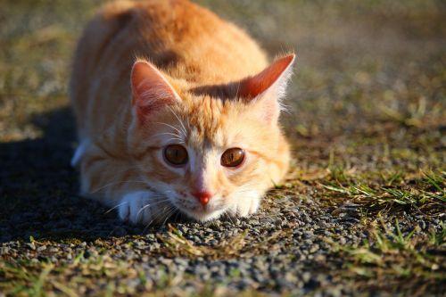 cat kitten red mackerel tabby
