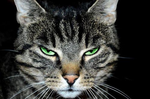 cat tomcat animal