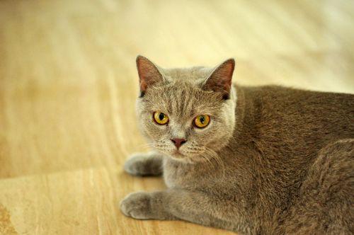 cat british shorthair shorthair