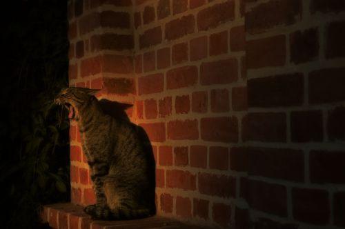 cat yawn animal