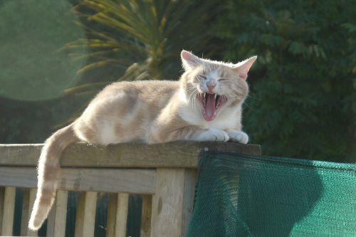 cat yawning funny cat