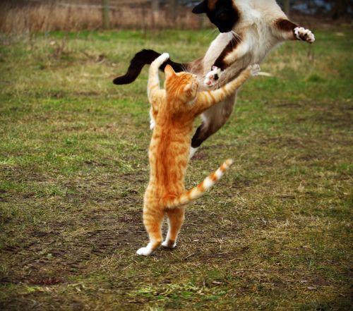 cat siamese cat play