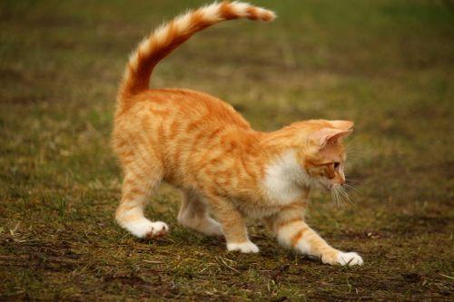 cat red cat kitten