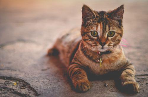 cat feline tabby
