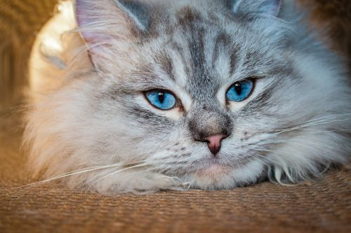 cat siberian forest cat blue eye