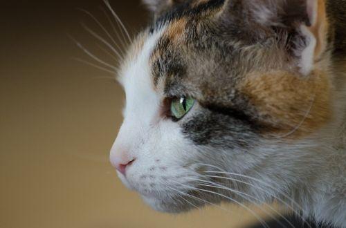 cat feline calico