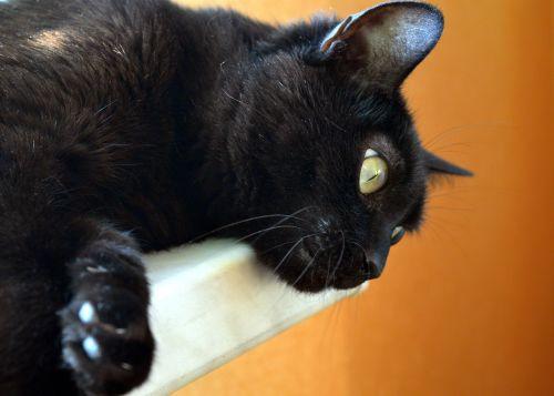 cat black cat pets