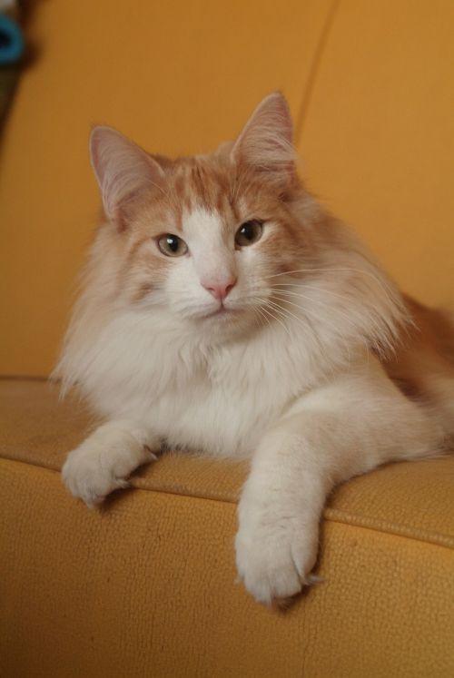 cat norwegian wildcat